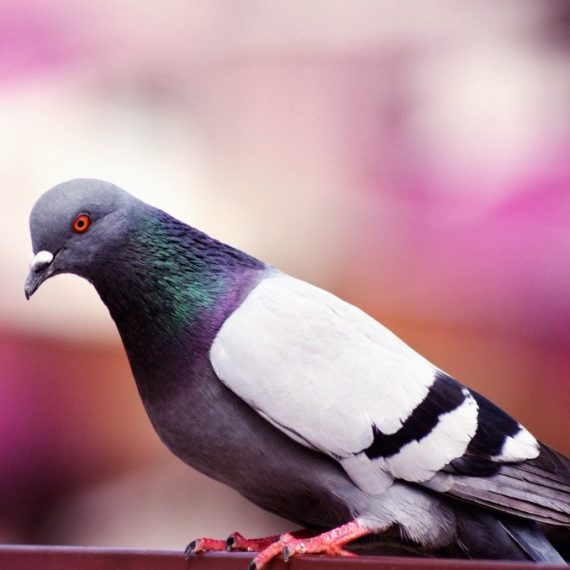 Birds, Pest Control in South Ockendon, RM15. Call Now! 020 8166 9746