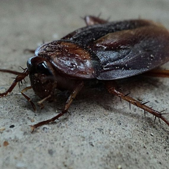Cockroaches, Pest Control in South Ockendon, RM15. Call Now! 020 8166 9746