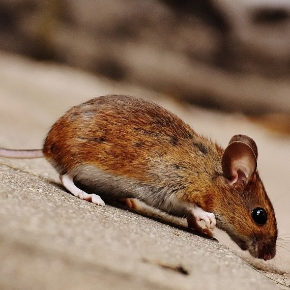 Mice, Pest Control in South Ockendon, RM15. Call Now! 020 8166 9746