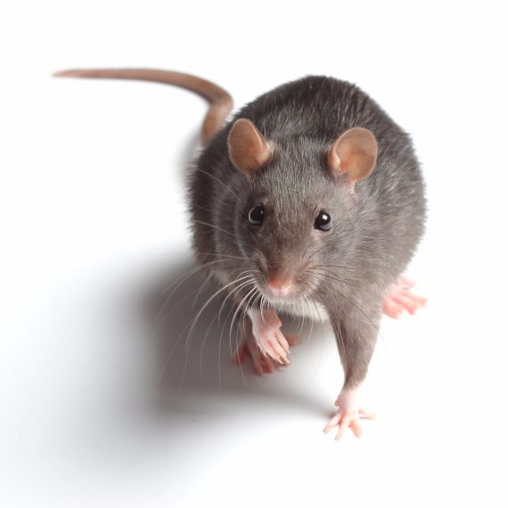 Rats, Pest Control in South Ockendon, RM15. Call Now! 020 8166 9746