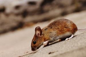 Mice Control, Pest Control in South Ockendon, RM15. Call Now 020 8166 9746
