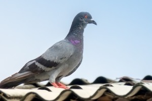 Pigeon Pest, Pest Control in South Ockendon, RM15. Call Now 020 8166 9746